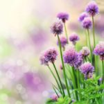 Blooming chive herb on beautiful bokeh background. Very shallow DOF.