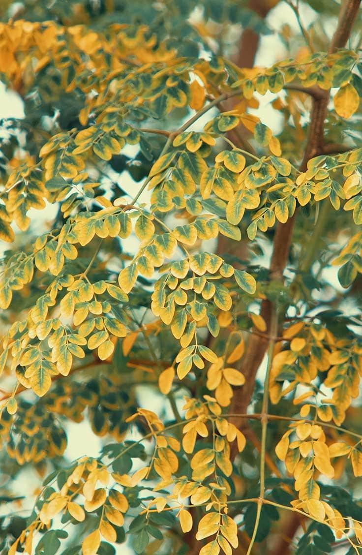 Close up of moringa tree